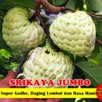 Bibit Srikaya Jumbo 70 cm
