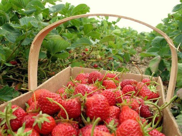panen-buah-strawberry