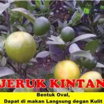 Bibit Jeruk Kintan 70 cm