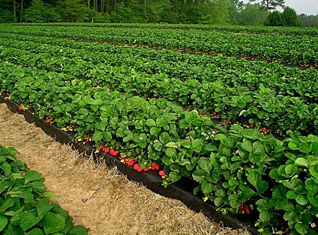 budidaya-buah-strawberry