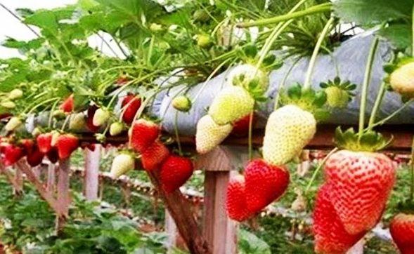 budidaya-strawberry