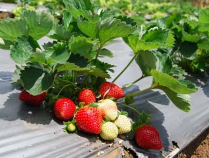 Budidaya Tanaman Buah Strawberry