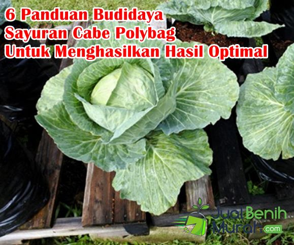 6 Panduan Sukses Budidaya Tanaman Sayuran Kubis Di Dalam Polybag Untuk Menghasilkan Hasil Yang Optimal Jualbenihmurah Com