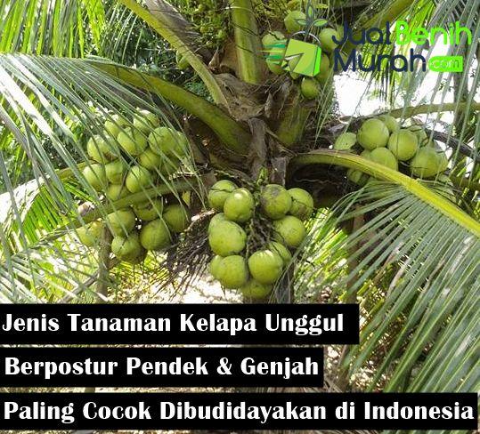 Inilah 5 Jenis Tanaman Buah Kelapa Unggul Berpostur Pendek Yang Paling Cocok Untuk Dibudidayakan Di Indonesia Jualbenihmurah Com